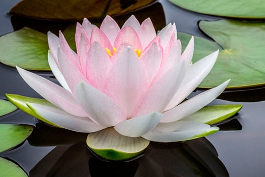 LOTUS FLOWER WATER